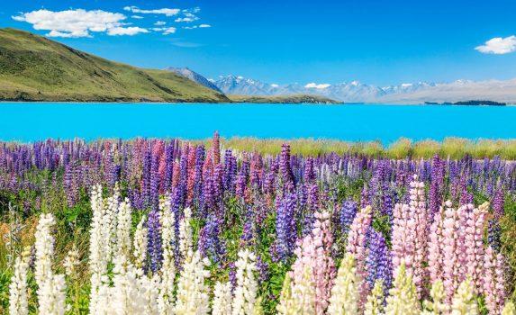 ルピナスの花とプカキ湖 ニュージーランドの風景