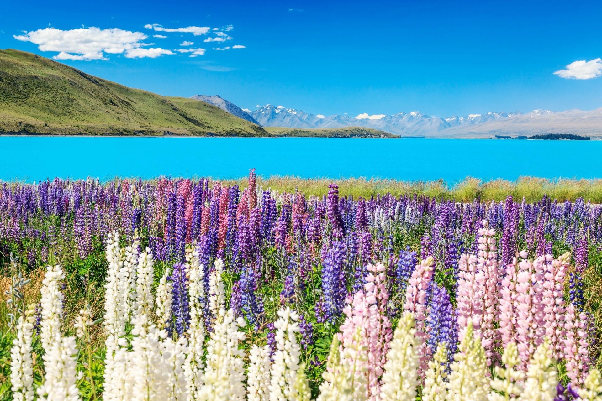 ルピナスの花とプカキ湖 ニュージーランド
