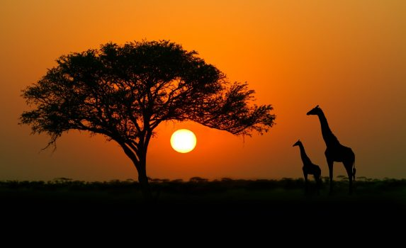 アカシアの木とキリン アフリカの夕暮れの風景
