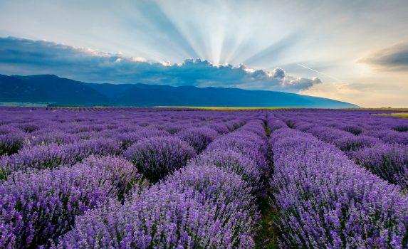 早朝のラベンダー畑 ブルガリアの風景