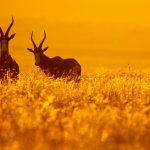 金色の草原の中に立つボンテボック ゴールデン・ゲート・ハイランズ国立公園 南アフリカ