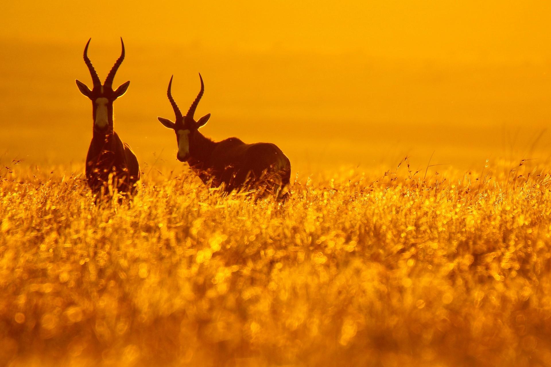 金色の草原の中に立つボンテボック 南アフリカの風景