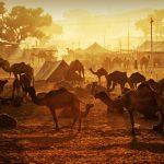 黄金色の朝日に輝くラクダ インドの風景