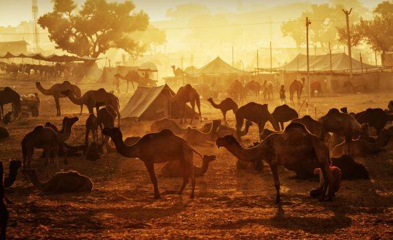 朝日に輝くラクダたち インドの風景