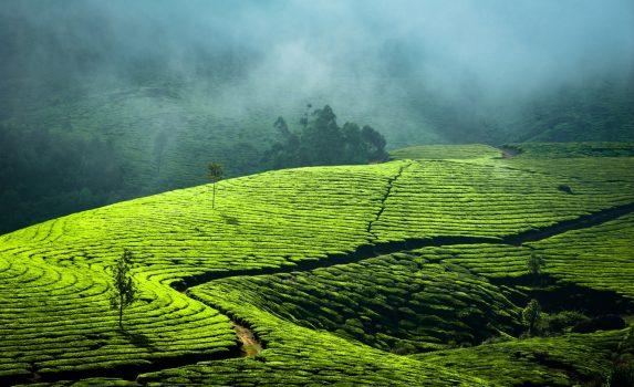早朝の紅茶畑の風景 インド ケララ州ムンナル