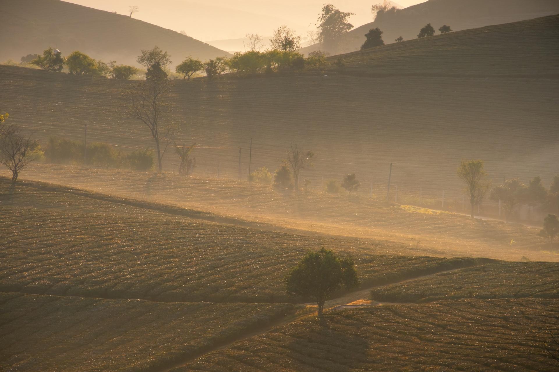 茶の木と夜明けの美しい光景 ベトナムの風景