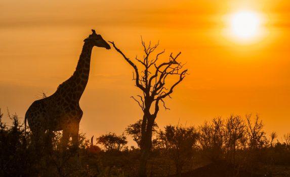 キリンのいる風景 南アフリカの風景