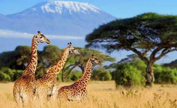 三頭のキリンとキリマンジャロ ケニアの風景