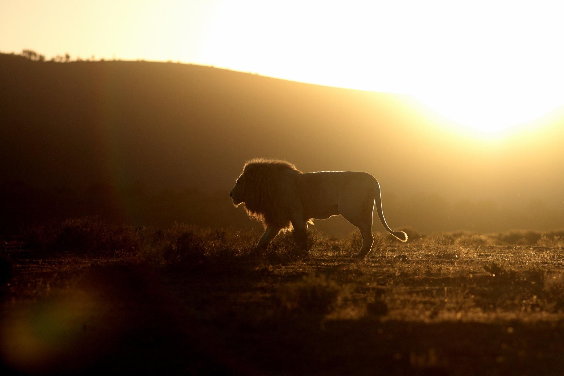 夕方のサバンナを行くライオン アフリカの風景
