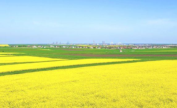 春のルーマニアの田園風景 菜の花と小麦畑の風景