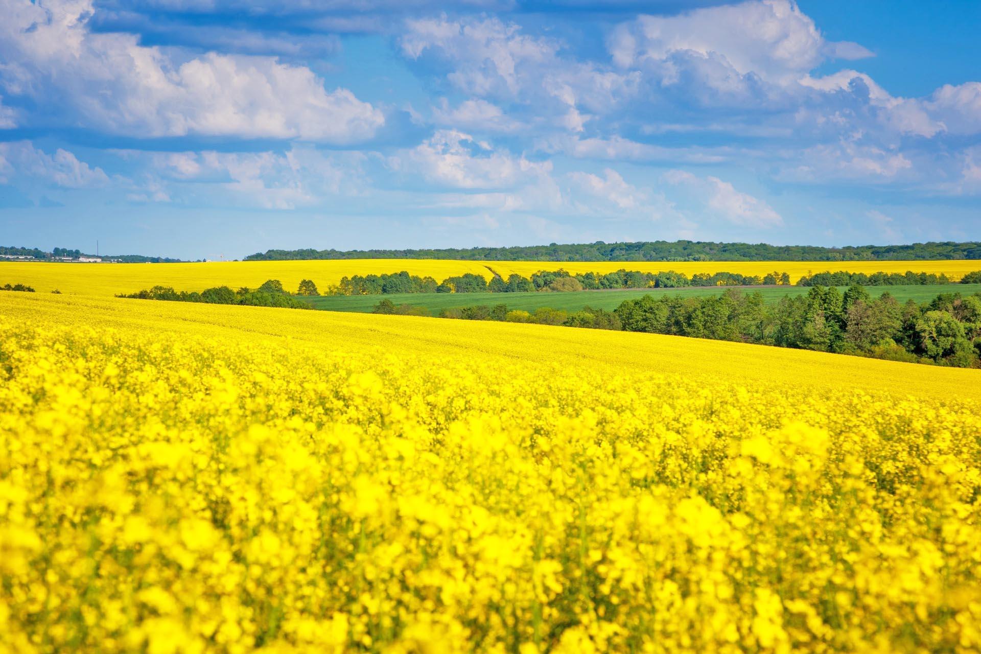 菜の花と青い空と白い雲 ウクライナの風景