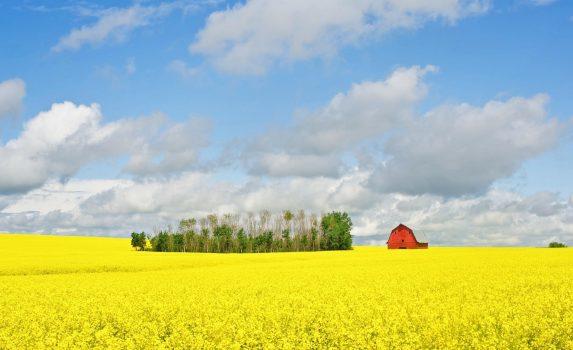 菜の花畑と赤い納屋のある風景 カナダの風景