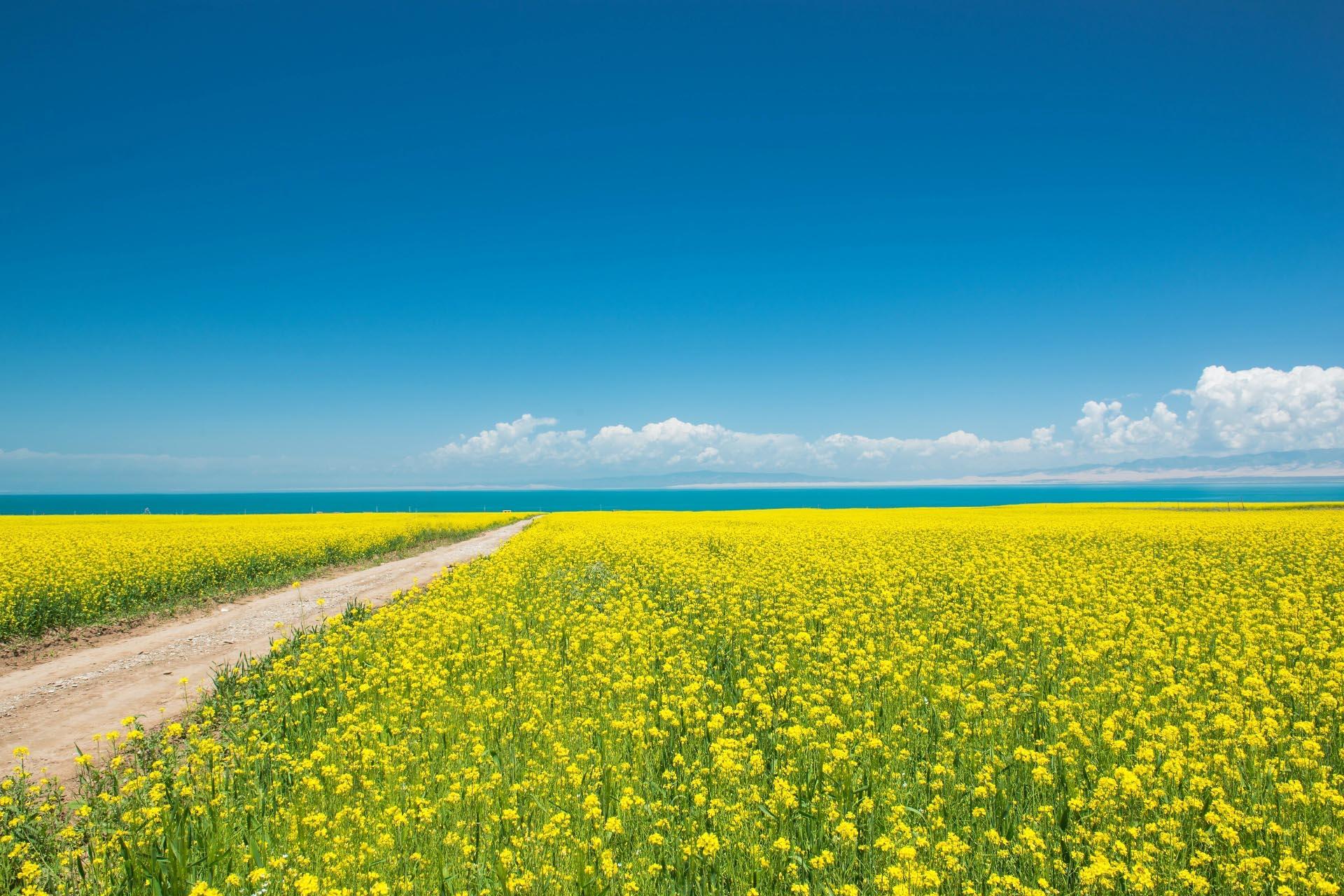 青海省 青海高原の菜の花の風景 中国の風景
