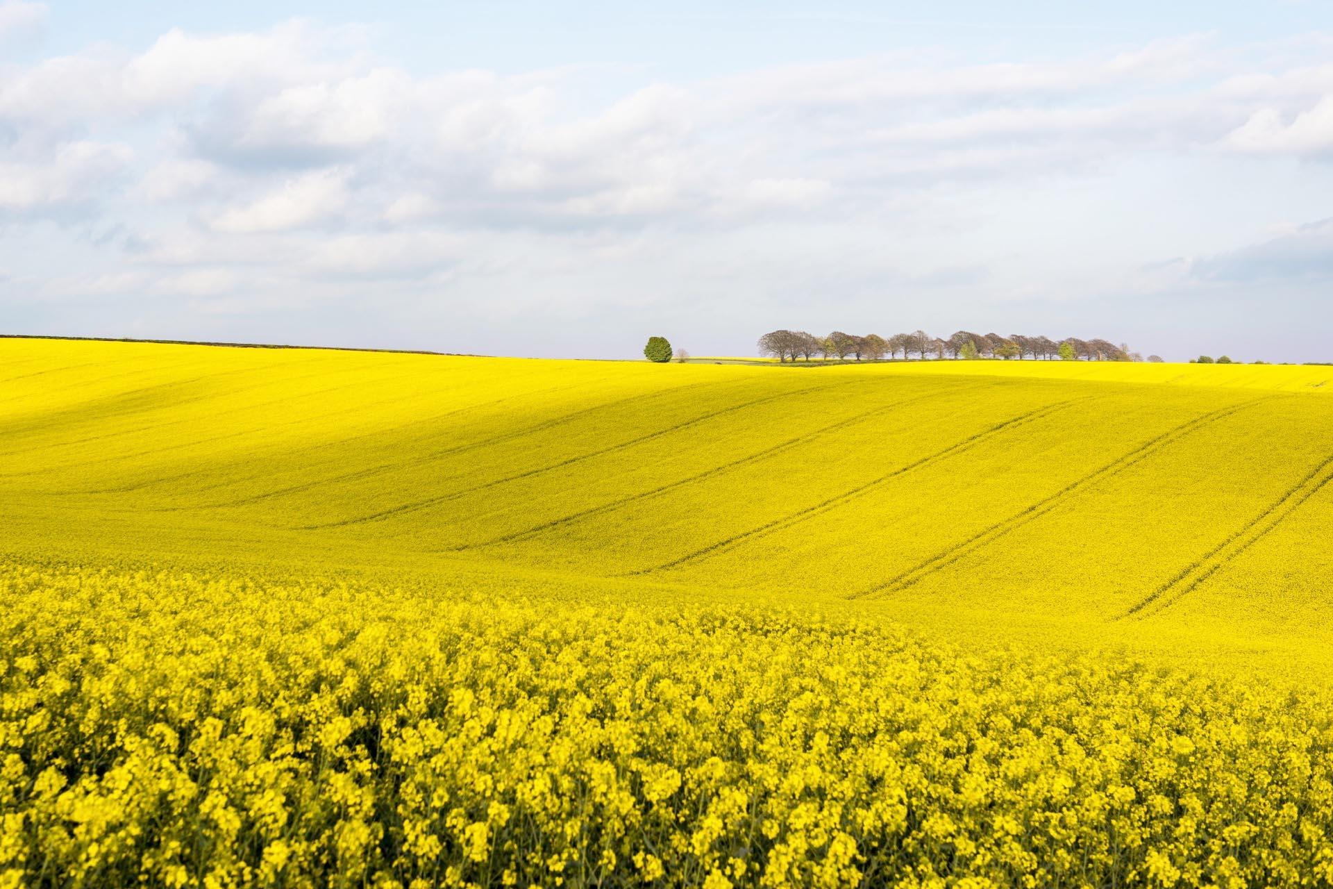 菜の花畑の風景 チーズフット・ヘッド イングランドの風景