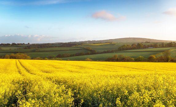 コーンウォール カリントンの菜の花畑の風景 イギリスの風景