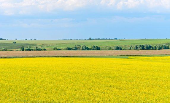 菜の花畑の広がる風景 リャザンスキー ロシアの風景