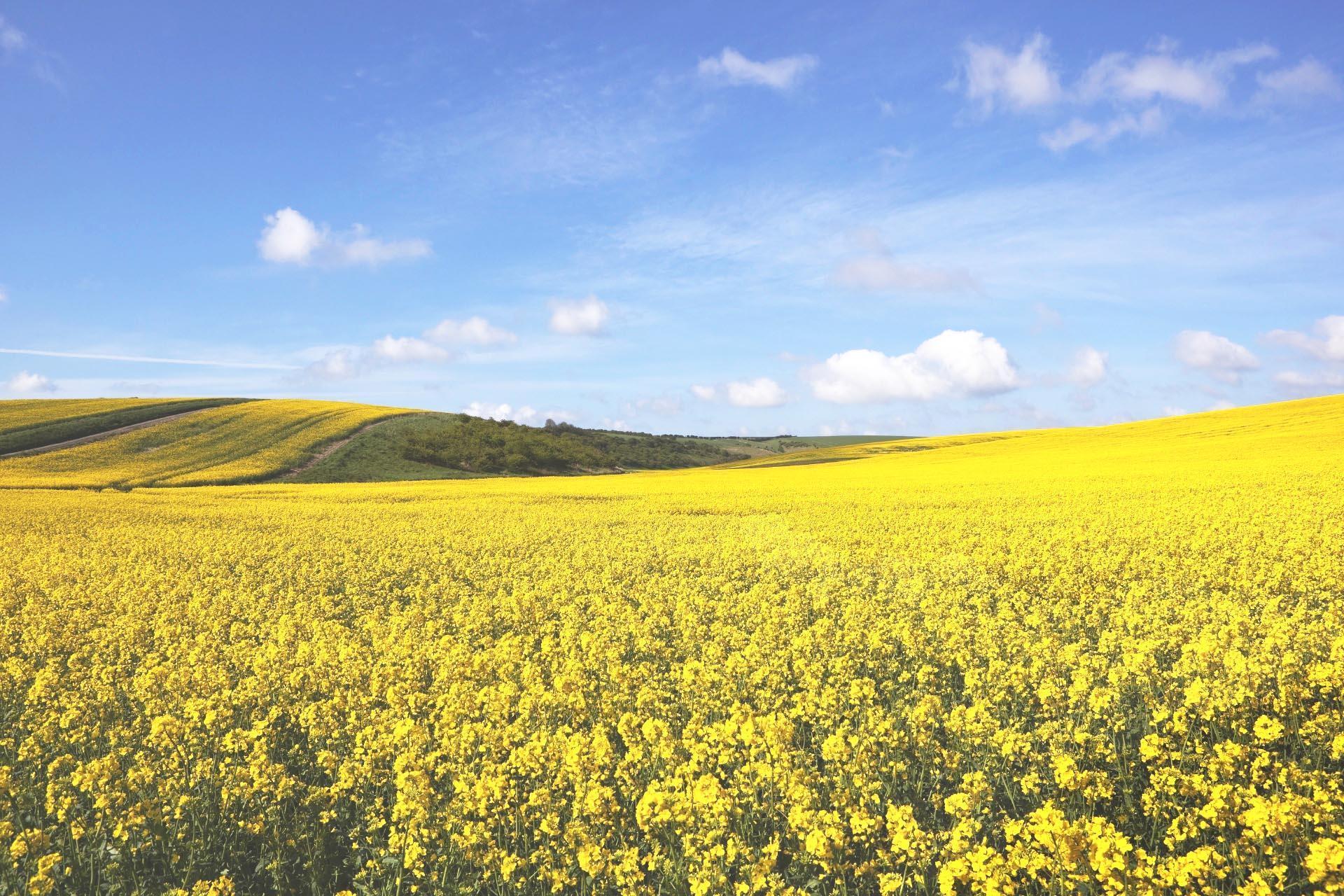 青空の下の菜の花畑 ヨークシャー・ウォルズの春の風景 イングランドの風景