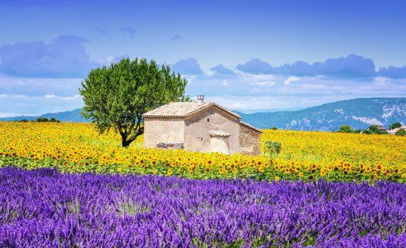 ひまわりとラベンダーの咲く風景 フランスの風景
