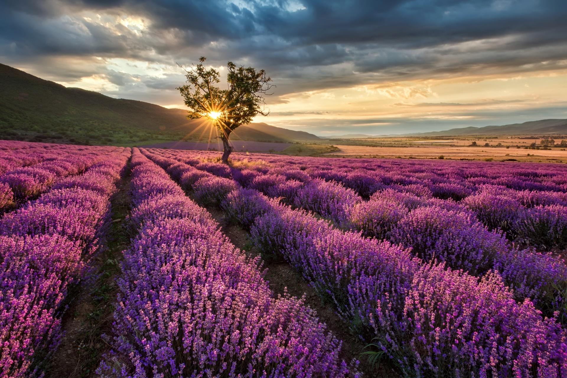 朝日とラベンダー畑の風景