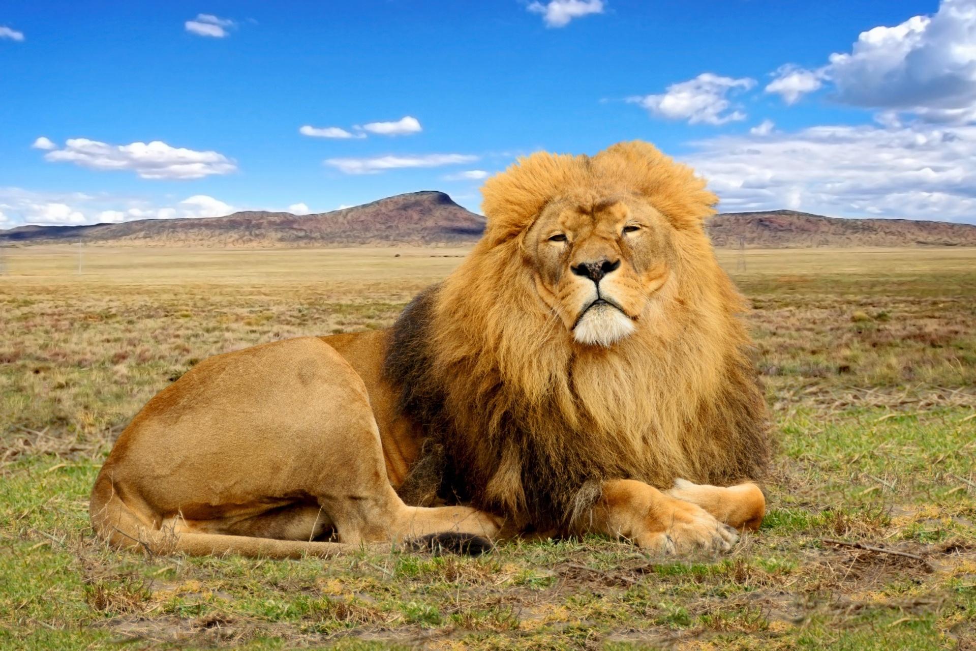 サバンナのライオン 南アフリカの風景