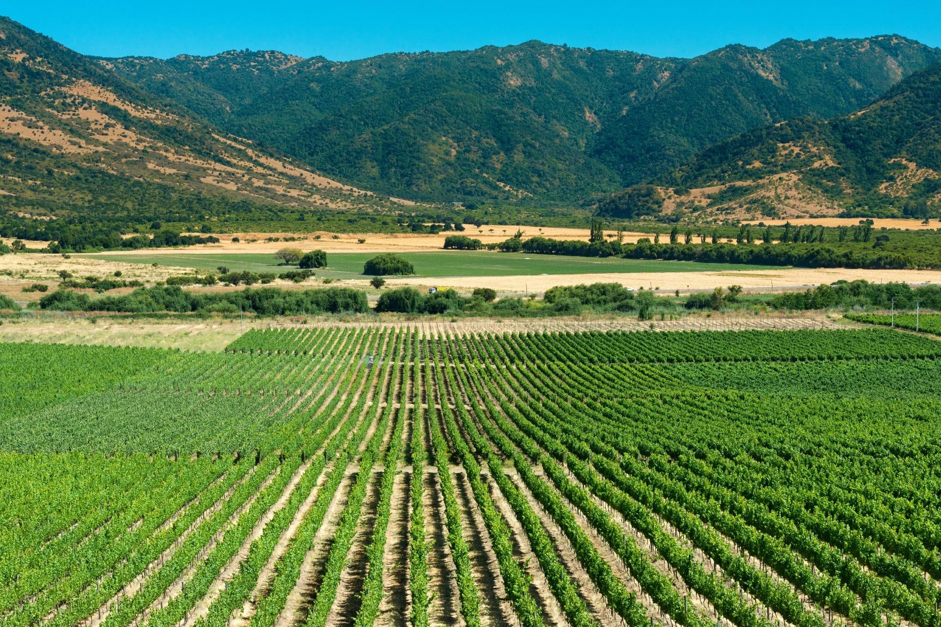 コルチャグア・ヴァレーのブドウ畑 チリの風景