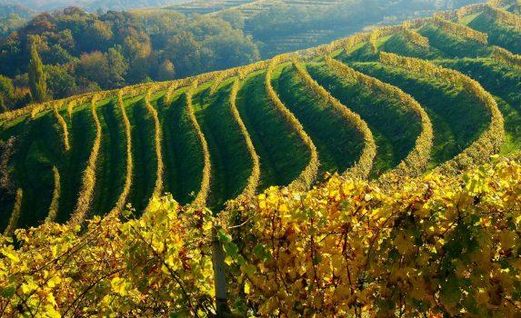 秋のブドウ畑 スロベニアの風景