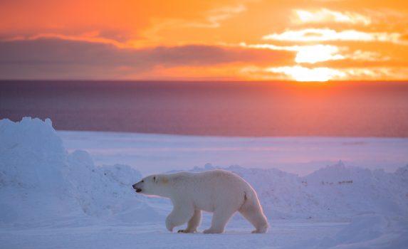 夕陽の中のホッキョクグマ カナダの風景