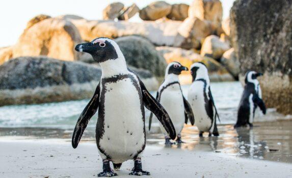 砂浜を歩くケープペンギン 南アフリカの風景