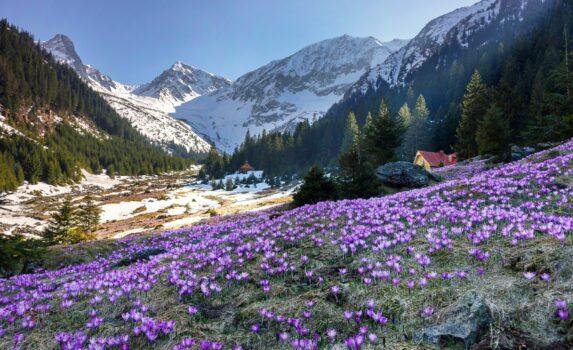 クロッカスの花とカルパティア山脈 ルーマニアの風景