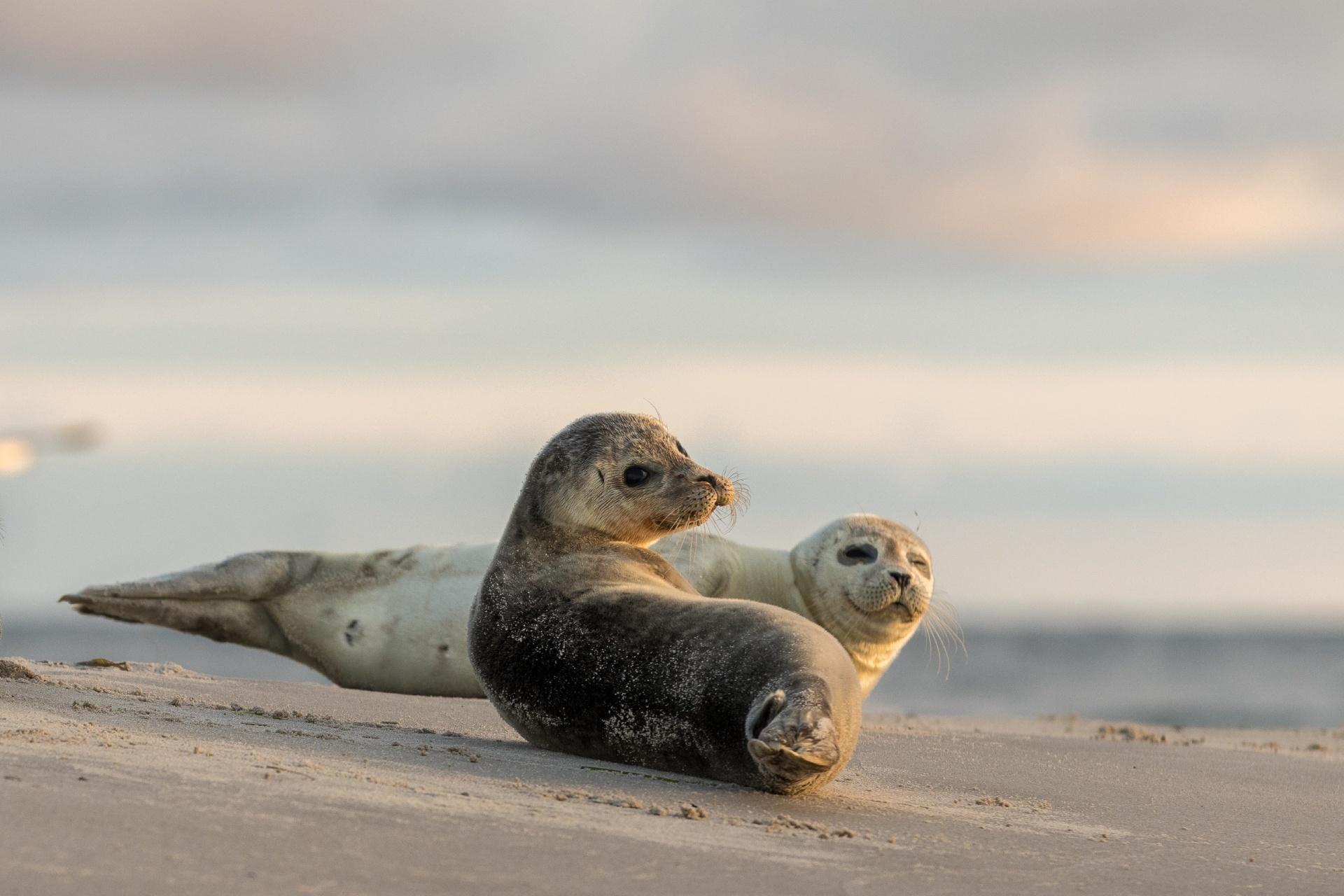 浜辺で寝転ぶアザラシ デンマークの風景
