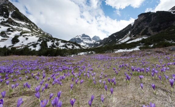 春のリラ山脈 クロッカスの咲く風景 ブルガリアの風景