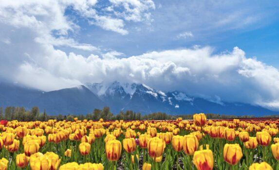 アガシーのチューリップ畑 カナダの風景