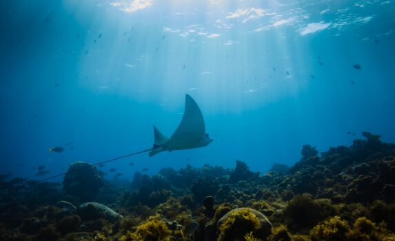 リトル・コーン島のサンゴ礁を泳ぐトビエイ ニカラグアの風景