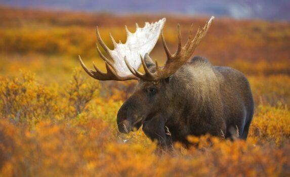 ヘラジカと秋のアラスカ アメリカの風景
