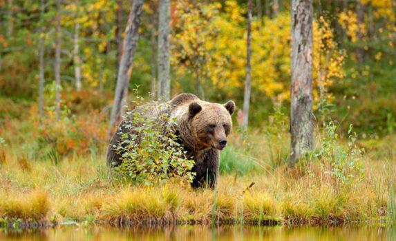ヒグマと秋の湖畔の風景 ロシアの秋の風景